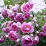 Il prezzo dei fiori, il listino della Camera di Commercio di Bari